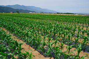 トウモロコシ畑の写真素材 [FYI01560391]