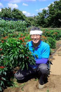 江戸東京野菜の内藤トウガラシを収穫する男性の写真素材 [FYI01560394]