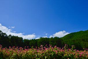 赤そば畑(タカネルビー)の写真素材 [FYI01560470]