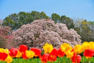 印西市指定天然記念物吉高の大ヤマザクラの写真素材 [FYI01560488]