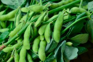 収穫された枝豆の写真素材 [FYI01560495]