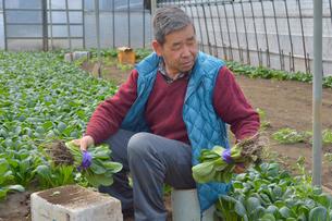 コマツナの収穫をする農夫の写真素材 [FYI01560519]