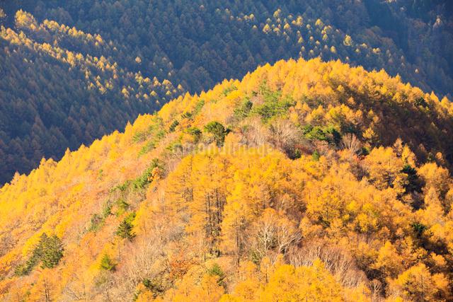 黄葉したカラマツ林の写真素材 [FYI01560555]