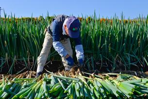 シロネギの収穫の写真素材 [FYI01560611]