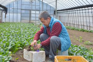 コマツナの収穫をする農夫の写真素材 [FYI01560709]