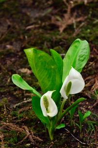 カタクリ山公園に咲くミズバショウの花(サトイモ科)の写真素材 [FYI01560799]