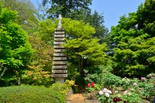 観音寺に咲くボタンの花の写真素材 [FYI01561031]