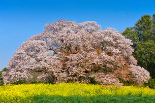印西市指定天然記念物吉高の大ヤマザクラの写真素材 [FYI01561219]