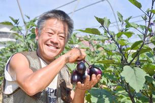 江戸東京野菜の寺島ナスを収穫する男性の写真素材 [FYI01561225]
