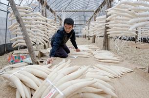 江戸野菜 東光寺大根を束ねて出荷準備をするの写真素材 [FYI01561288]