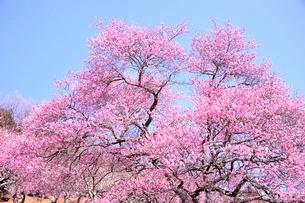 筑波山梅林に咲くウメの写真素材 [FYI01561294]