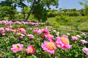 茨城県フラワーパークに咲くシャクヤクの写真素材 [FYI01561348]
