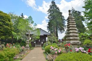 観音寺に咲くボタンの花の写真素材 [FYI01561364]
