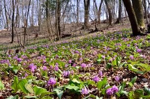 カタクリ山公園に咲くカタクリの花(ユリ科)の群生の写真素材 [FYI01561379]