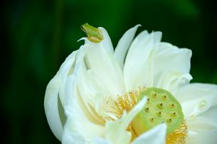 古代ハスの里公園に咲く白いハスとカエルの写真素材 [FYI01561382]