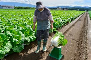 白菜の重さを測るの写真素材 [FYI01561459]
