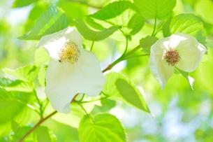 観音寺に咲くハンカチ木の花の写真素材 [FYI01561469]