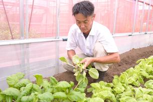 江戸東京野菜のシントリ菜を収穫するの写真素材 [FYI01561475]