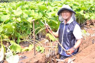 江戸東京野菜の滝野川ゴボウの収穫の写真素材 [FYI01561495]