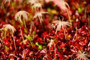 白馬五竜高山植物園にあるチングルマの種の写真素材 [FYI01561508]
