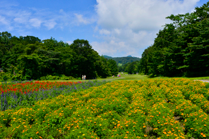 マリーゴールド(キク科)等咲くたんばらラベンダーパークの写真素材 [FYI01561523]