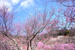 筑波山梅林に咲くウメの写真素材 [FYI01561563]