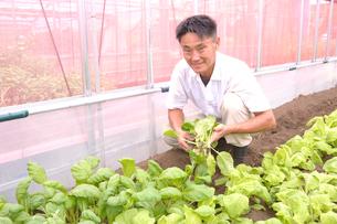 江戸東京野菜のシントリ菜を収穫するの写真素材 [FYI01561568]