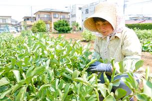 ソラマメの収穫をする農婦の写真素材 [FYI01561656]