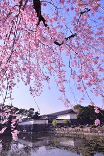 皇居のお堀周辺に咲く枝垂桜の写真素材 [FYI01561722]