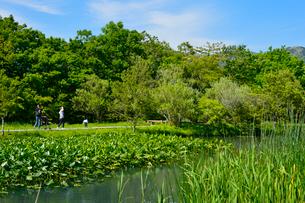 コウホネ(スイレン科)浮かぶ箱根湿性花園の写真素材 [FYI01561727]