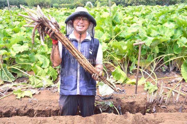 江戸東京野菜の滝野川ゴボウの収穫の写真素材 [FYI01561776]