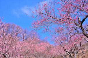 筑波山梅林に咲くウメの写真素材 [FYI01561793]