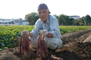 埼玉県伝統野菜の紅赤サツマイモ畑と農夫の写真素材 [FYI01561847]