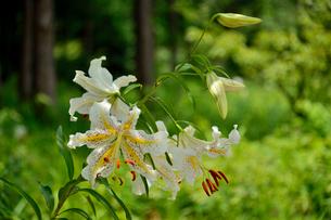茨城県フラワーパークに咲くヤマユリの写真素材 [FYI01561970]