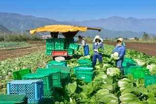 白菜の収穫の写真素材 [FYI01562007]