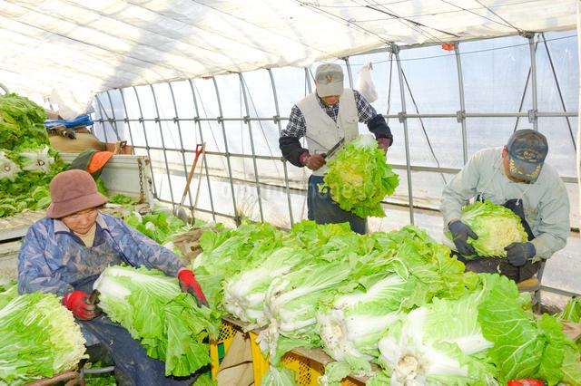 伝統野菜花芯山東菜の出荷準備の写真素材 [FYI01562060]