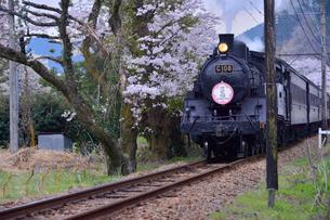 大井川鉄道の蒸気機関車とサクラ(バラ科)の写真素材 [FYI01562109]