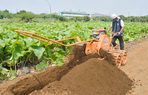 江戸東京野菜の滝野川ゴボウの収穫の写真素材 [FYI01562133]