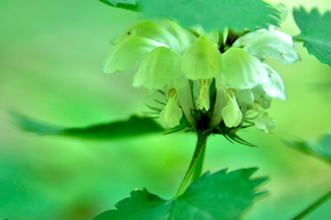 高尾山さる園 野草園に咲くオドリコソウの写真素材 [FYI01562173]