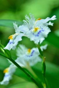 高尾山に咲くシャガの写真素材 [FYI01562366]