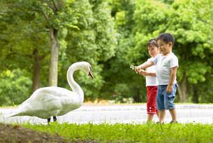 白鳥と子供の写真素材 [FYI01562376]