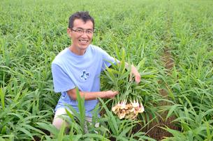 江戸東京野菜の八王子ショウガを収穫するの写真素材 [FYI01562434]