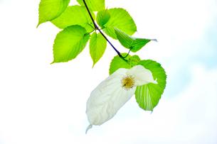 観音寺に咲くハンカチ木の花の写真素材 [FYI01562588]