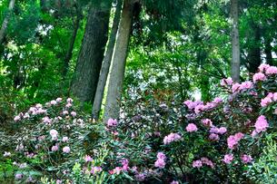 シャクナゲが咲く高尾山の写真素材 [FYI01562648]