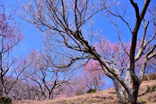 筑波山梅林に咲くウメの写真素材 [FYI01562683]