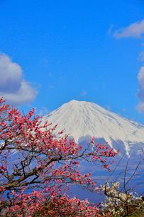 岩本山公園に咲く紅梅と雪をかぶった富士山の写真素材 [FYI01562875]