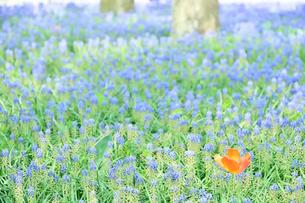 昭和記念公園に咲くムスカリとチューリップの写真素材 [FYI01562895]