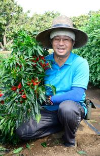 江戸東京野菜の内藤トウガラシを収穫する男性の写真素材 [FYI01562961]