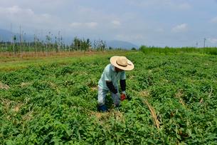 加工用トマトの収穫の写真素材 [FYI01563002]