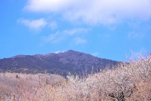 筑波山梅林に咲くウメとロウバイの写真素材 [FYI01563053]